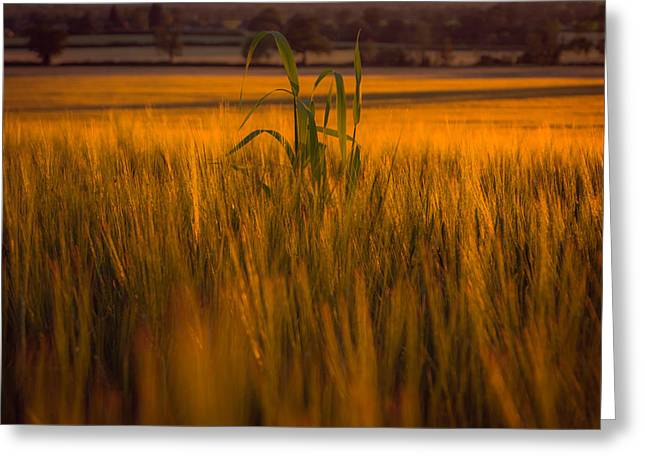 Green Blade Of Grass Greeting Cards - Scanning the horizon Greeting Card by Chris Fletcher