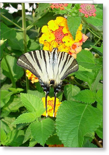Butterfly Blue Pincushion Flower Greeting Cards - Scarce Swallowtail Feeding on Lantana Greeting Card by Tracey Harrington-Simpson