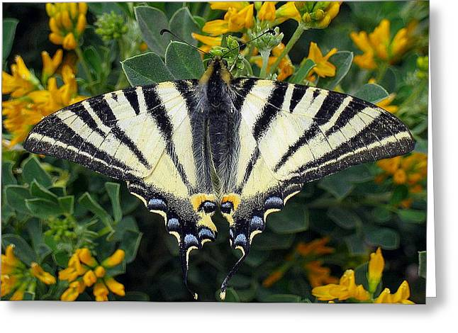 Butterfly Blue Pincushion Flower Greeting Cards - Scarce Swallowtail Iphiclides Podalirius Greeting Card by Tracey Harrington-Simpson