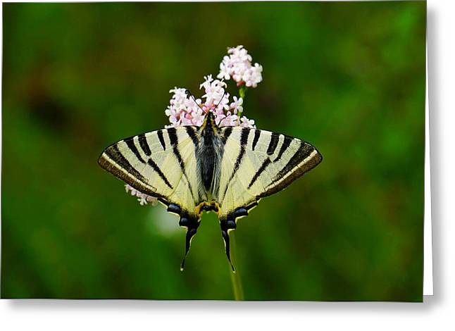Butterfly Blue Pincushion Flower Greeting Cards - Scarce Swallowtail On Wild Garlic Flowers Greeting Card by Tracey Harrington-Simpson