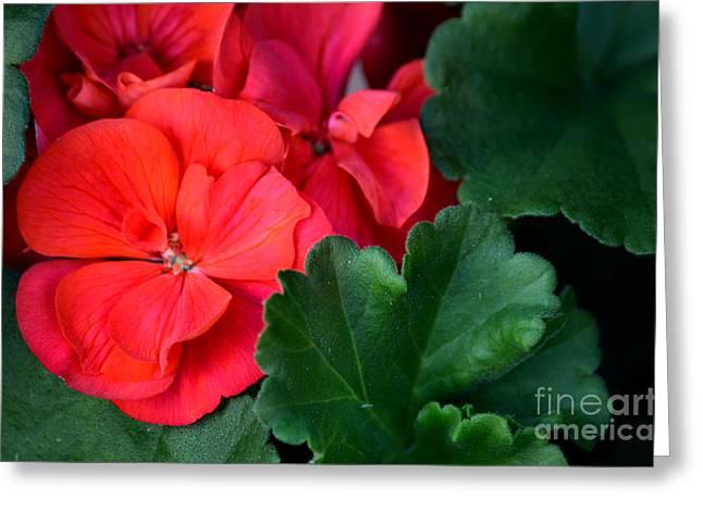 Red Geraniums Greeting Cards - Scarlet Greeting Card by Deb Halloran