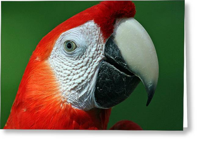 Scarlet Macaw Greeting Cards - Scarlet Macaw Greeting Card by Larry Linton
