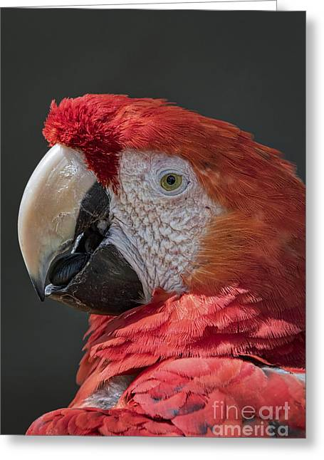 Pirates Greeting Cards - Scarlet Macaw Portrait Greeting Card by Mitch Shindelbower