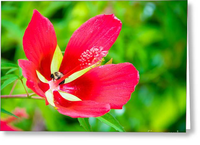 Scarlet Mallow Greeting Card by Alicia Collins