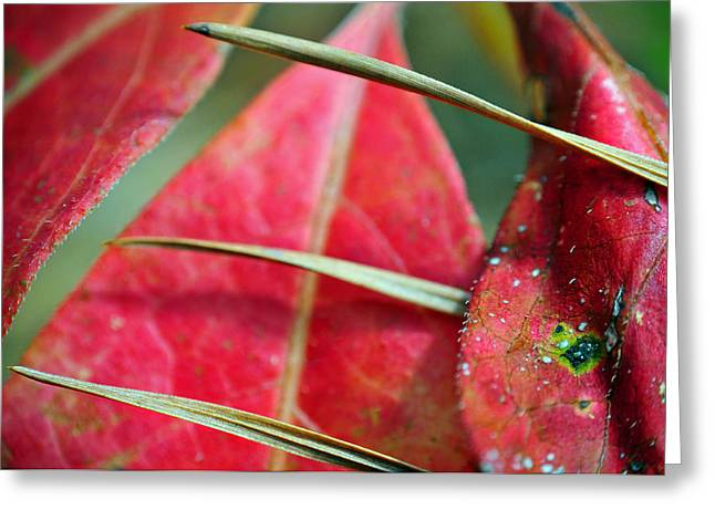 Pine Needles Greeting Cards - Scarlet O Greeting Card by Skip Hunt