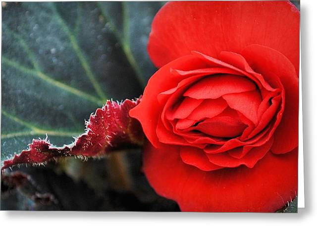 Wisconsin Greeting Cards - Scarlet Tuberous Begonia Flower Greeting Card by Laura Pineda
