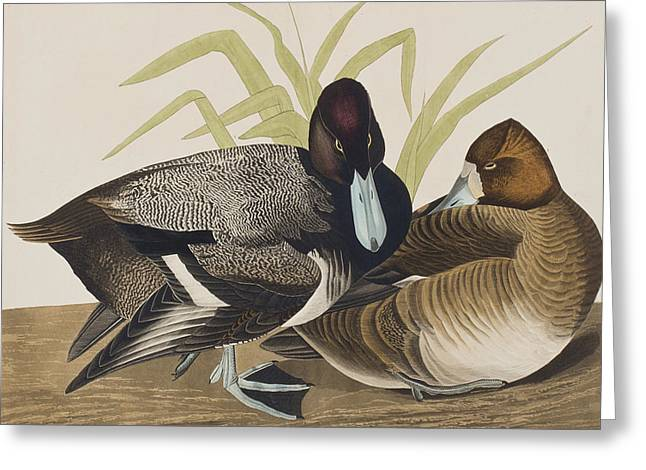 Male And Female Greeting Cards - Scaup Duck Greeting Card by John James Audubon