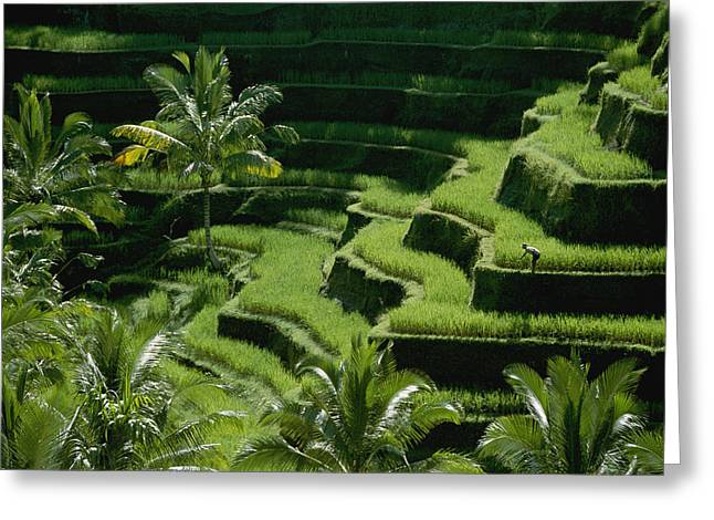 Farmers And Farming Greeting Cards - Scenic Valleys With Rice Fields In Bali Greeting Card by Paul Chesley