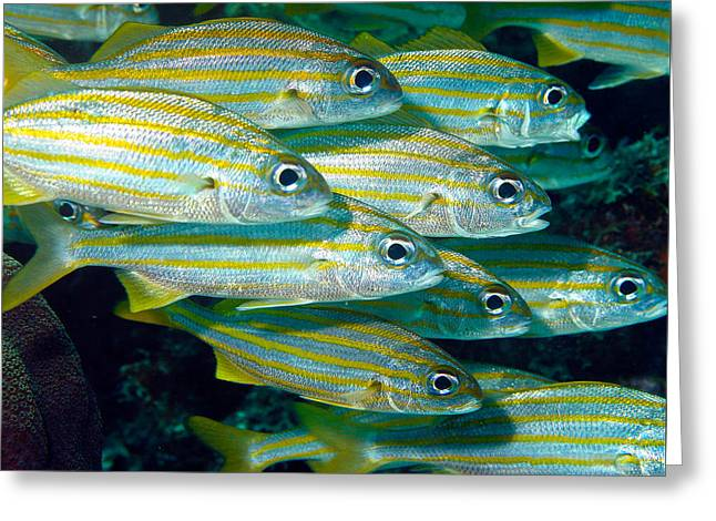 Grunts Greeting Cards - Schooling Blue Stripped Grunts Greeting Card by Jean Noren