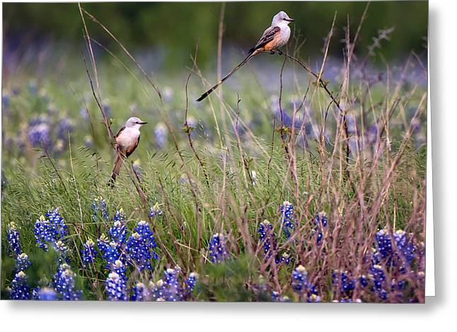 Scissor-tailed Flycatchers Greeting Card by Cathy Alba