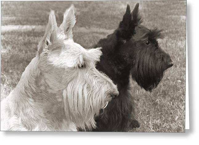 Scottish Terrier Greeting Cards - Scottish Terrier Dogs in Sepia Greeting Card by Jennie Marie Schell