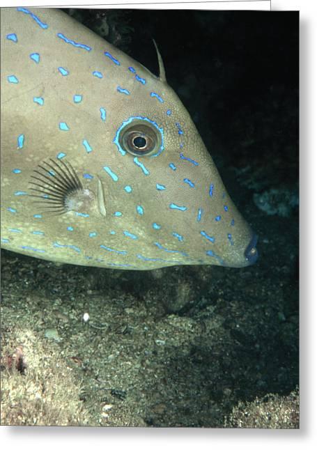 Scripta Greeting Cards - Scrawled Filefish Profile, Alutera Greeting Card by James Forte