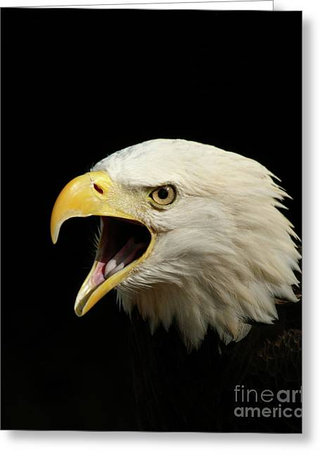 Cackle Greeting Cards - Screaming Eagle Greeting Card by Jack Norton