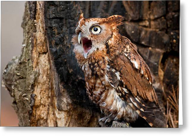 Morph Greeting Cards - Screech Owl Calling Greeting Card by Matt Cuda
