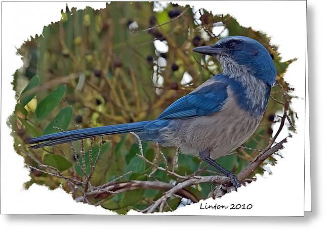 Scrub Jay Greeting Cards - Scrub Jay Greeting Card by Larry Linton