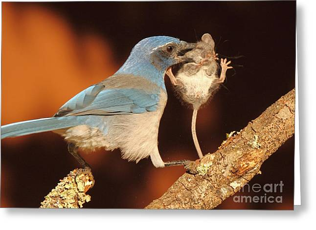 Hunting Bird Greeting Cards - Scrub Jay With Jumping Mouse In Grasp Greeting Card by Max Allen