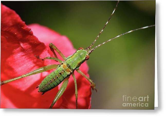 Katydid Greeting Cards - Scudders Bush Katydid Nymph Greeting Card by Wingsdomain Art and Photography