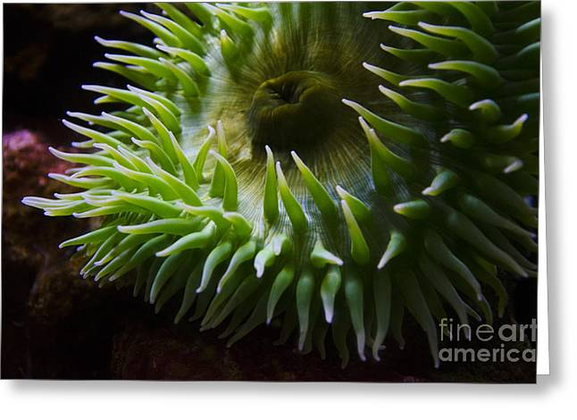 Snorkel Greeting Cards - Sea Anenome 2 Greeting Card by Bob Christopher