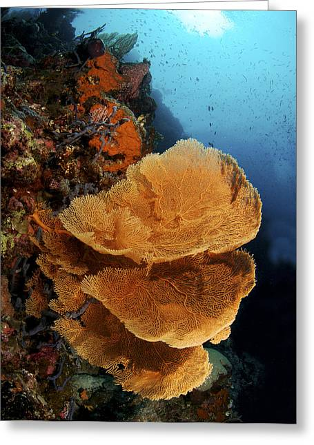 Protected Sea Life Greeting Cards - Sea Fan Coral - Indonesia Greeting Card by Steve Rosenberg - Printscapes