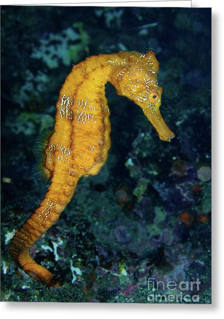 Sea Horse Underwater View Greeting Card by Sami Sarkis