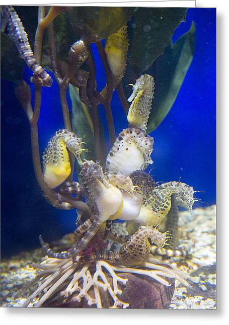 Sea Horse Greeting Cards - Sea Horses Greeting Card by Allan Morrison