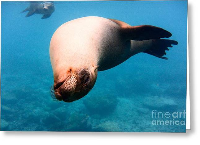 Sea Lions Greeting Cards - Sea Lion Greeting Card by Andriana Andreou