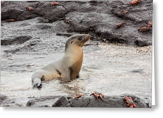 Sea Lions Greeting Cards - Sea lion coming out of the water Greeting Card by Guido Vermeulen-Perdaen