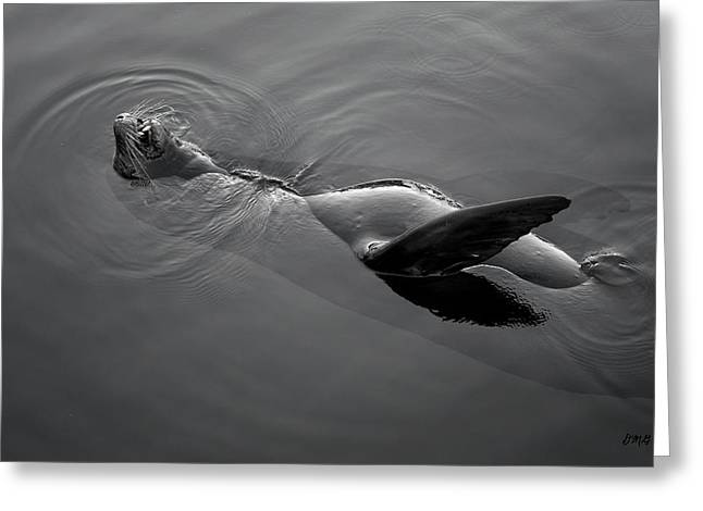 Sea Lions Greeting Cards - Sea Lion I BW Greeting Card by David Gordon
