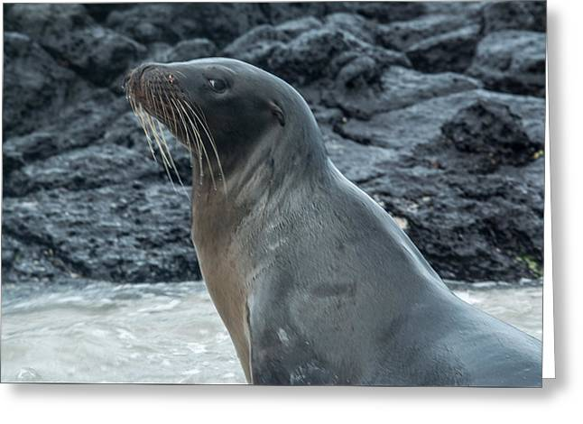 Sea Lions Greeting Cards - Sea Lion Leftward Glance Greeting Card by Harry Strharsky
