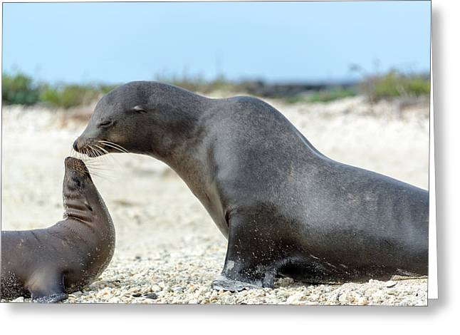 Sea Lions Greeting Cards - Sea Lion Mother and Child Greeting Card by Jess Kraft