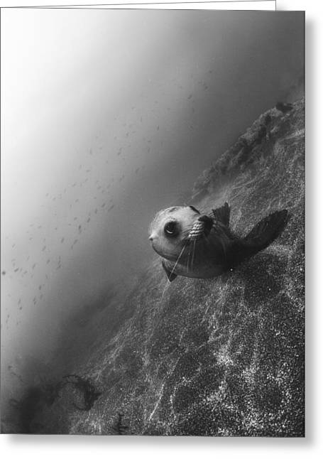 California Sea Lions Greeting Cards - Sea Lion Portrait Greeting Card by Bryan Toro