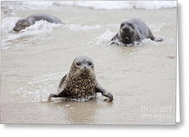 Sea Lion Pup Greeting Card by Eddie Yerkish