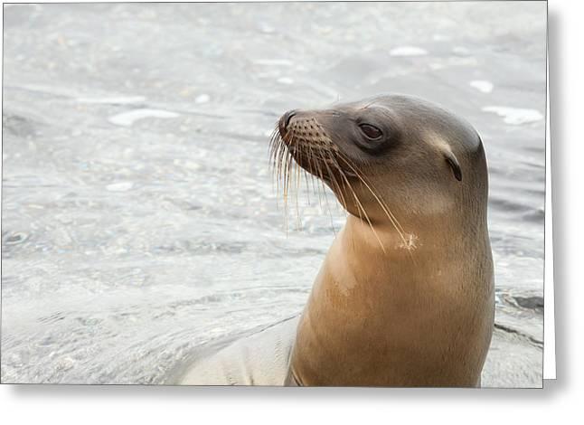 Sea Lions Greeting Cards - Sea lion reaching its head Greeting Card by Guido Vermeulen-Perdaen