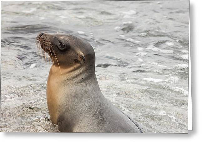 Sea Lions Greeting Cards - Sea lion sitting in the water Greeting Card by Guido Vermeulen-Perdaen