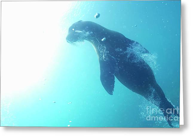 Sea Lion Swimming Underwater  Greeting Card by Sami Sarkis