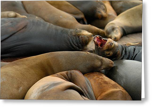 Seal Greeting Cards - Sea Lions at Pier 39 San Francisco Greeting Card by Sebastian Musial