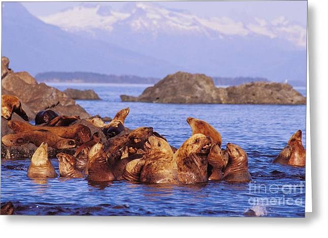 Sunbathing Greeting Cards - Sea Lions Greeting Card by John Hyde - Printscapes