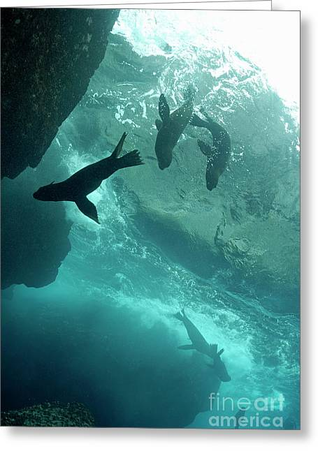 Undersea Photography Photographs Greeting Cards - Sea lions Greeting Card by Sami Sarkis