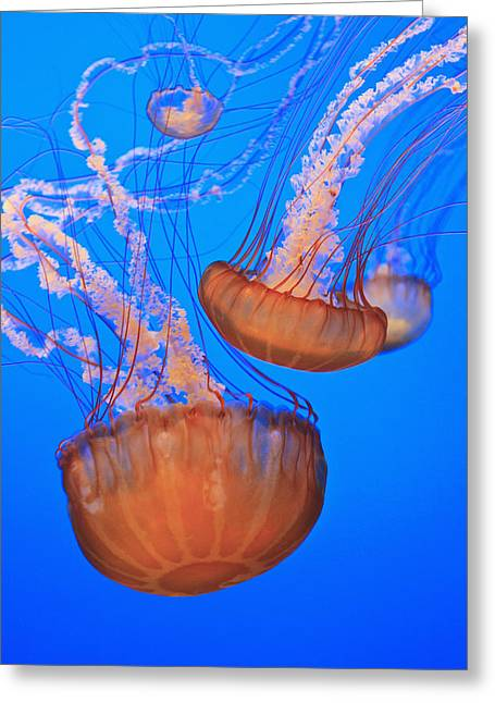 Image Of Jelly Fish Greeting Cards - Sea Nettles Chrysaora Fuscescens In Greeting Card by Stuart Westmorland