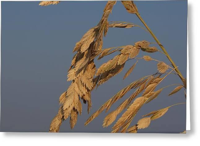 Sea Oats at Hunting Island State Park Greeting Card by Anna Lisa Yoder