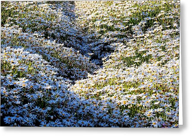 Purchase Greeting Cards - Sea of Blooming Daisies Greeting Card by Patrick Witz