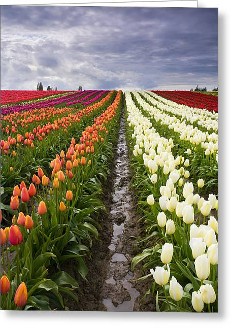 Tulip Fields Greeting Cards - Sea of Color Greeting Card by Mike  Dawson