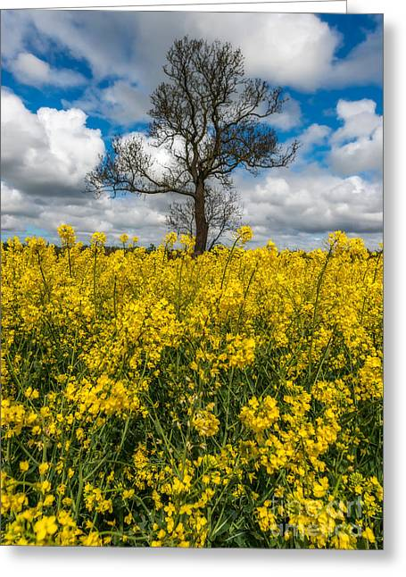 Brassica Greeting Cards - Sea of Yellow Greeting Card by Adrian Evans