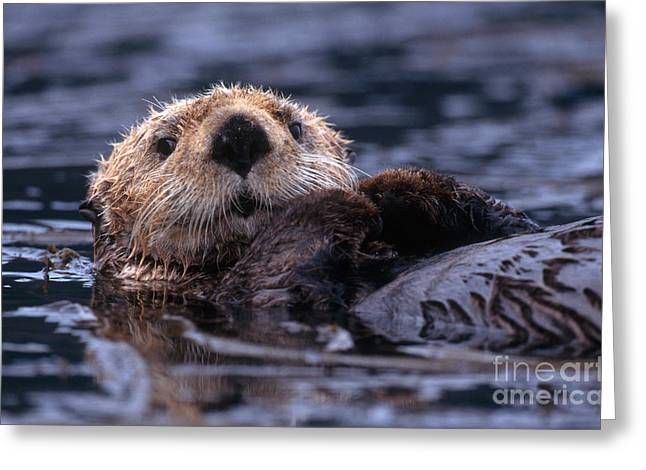 Otter Greeting Cards - Sea Otter Greeting Card by Yva Momatiuk and John Eastcott and Photo Researchers