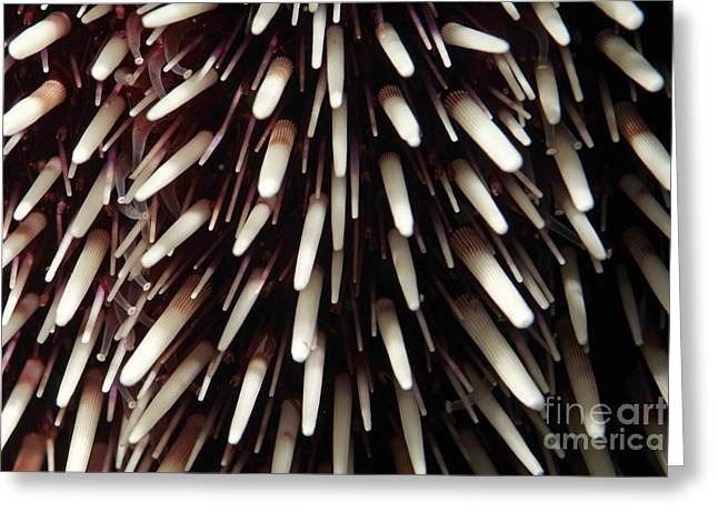 Protected Sea Life Greeting Cards - Sea urchin Greeting Card by Sami Sarkis