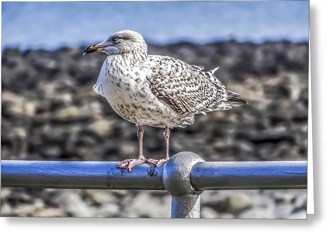 Sea Birds Greeting Cards - Seagull Greeting Card by Angela Aird
