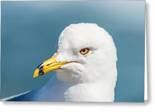 Ocean Photography Greeting Cards - Seagull Closeup Greeting Card by Ray Sheley