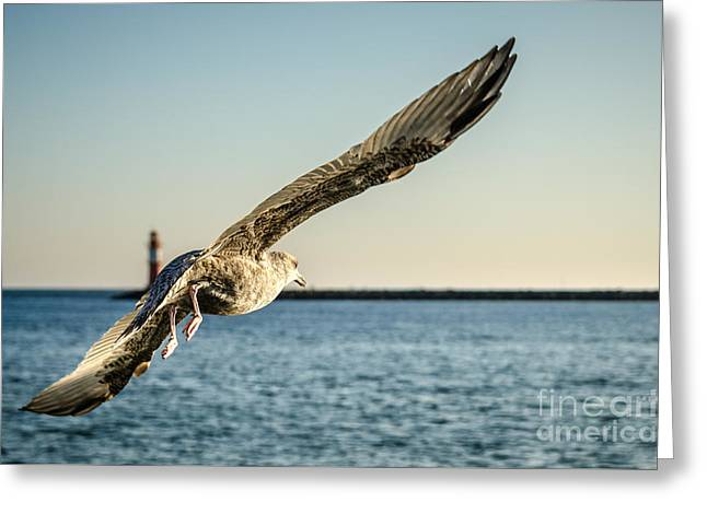 Flying Animal Greeting Cards - Seagull Greeting Card by Dirk Petersen