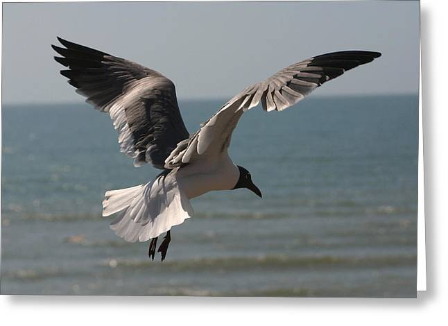 Flying Seagull Greeting Cards - Seagull Flying Greeting Card by James Campagna