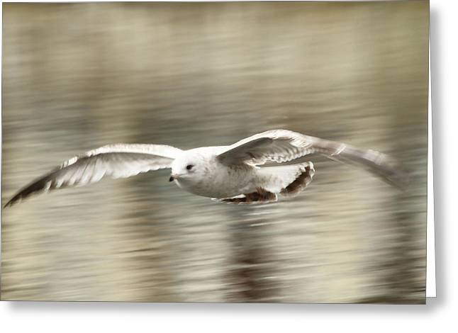 Seagull Glide Greeting Card by Karol Livote